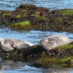 island-seals-150x150