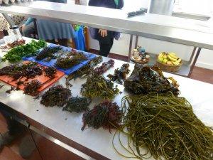 Algen gesammelt auf Inishmore, Seaweed week